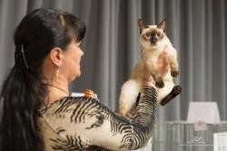 взрослая кошка скиф-той-боб