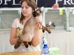 взрослый кот скиф-той-боб